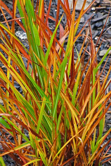 miscanthus purpurascens flame grass gramineas
