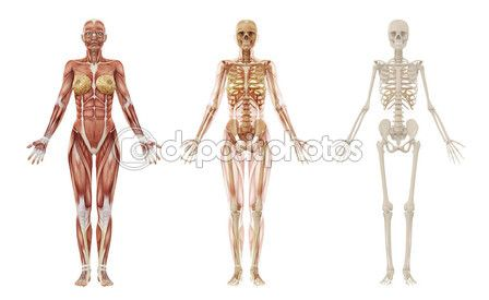 similar images to 25889335 human anatomy - female muscles | art, Skeleton