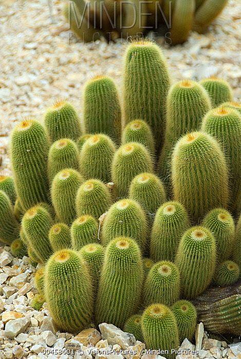 Golden Ball Cactus - Parodia leninghausii