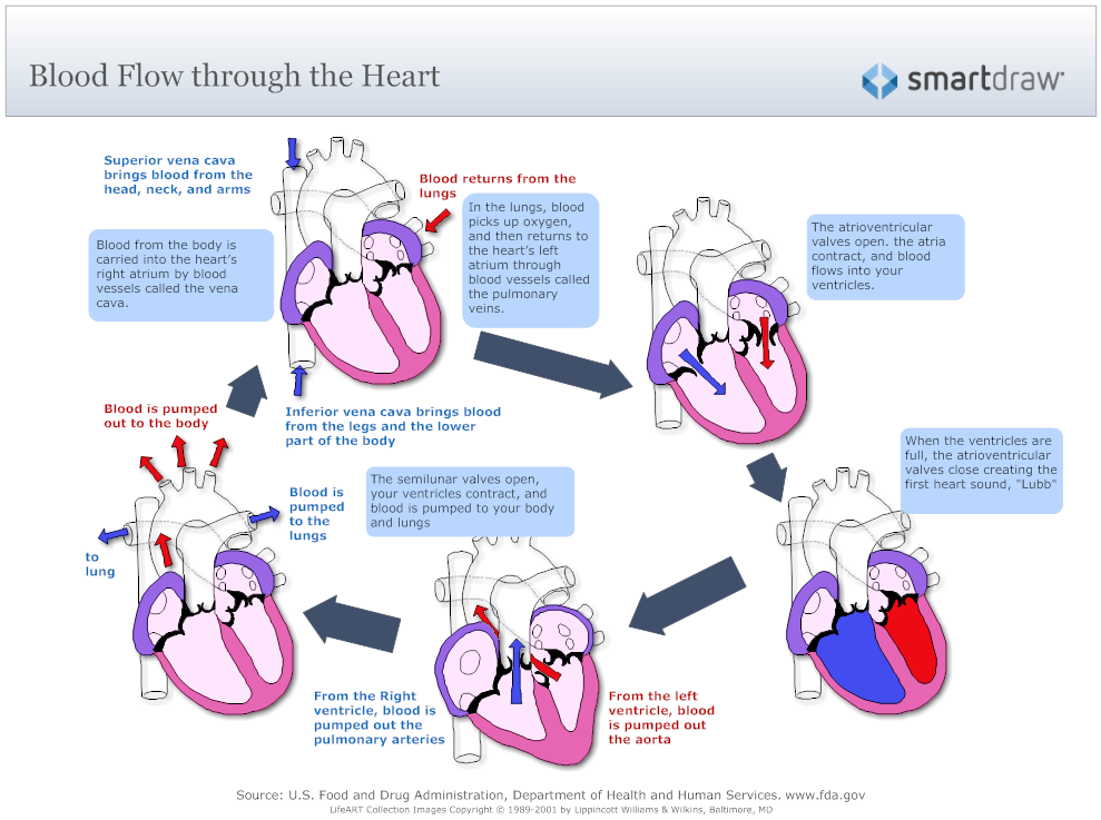 heart blood flow (512×400) | nursing | pinterest | heart diagram, Muscles