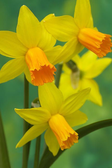 Pin By Harriet Bos Van Dijk On Narciso Daffodil Flower Beautiful Flowers Daffodils