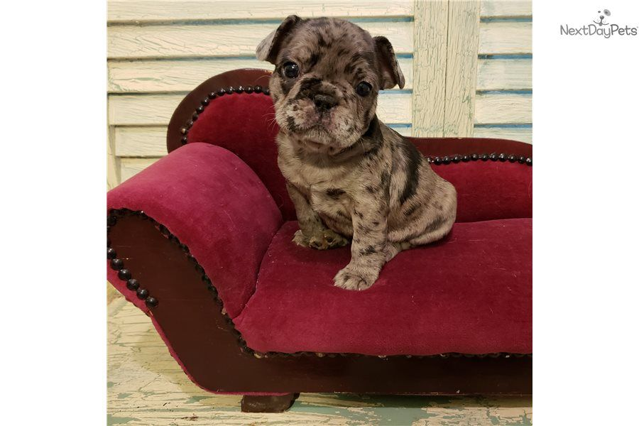 Bubbles French Bulldog Puppy For Sale Near Houston Texas
