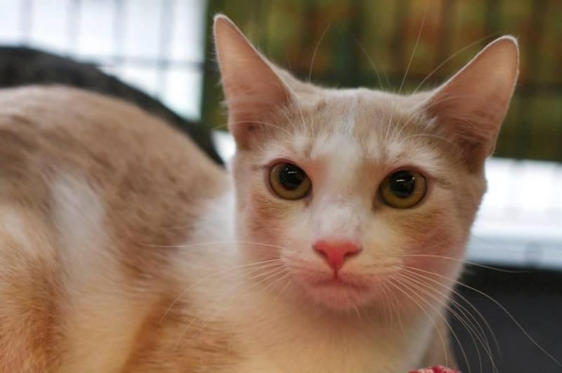 Adopt Slider on Cats new york, Short hair cats, Animal