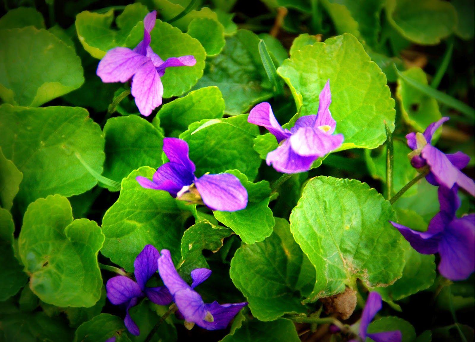 Risultati immagini per violette fiori