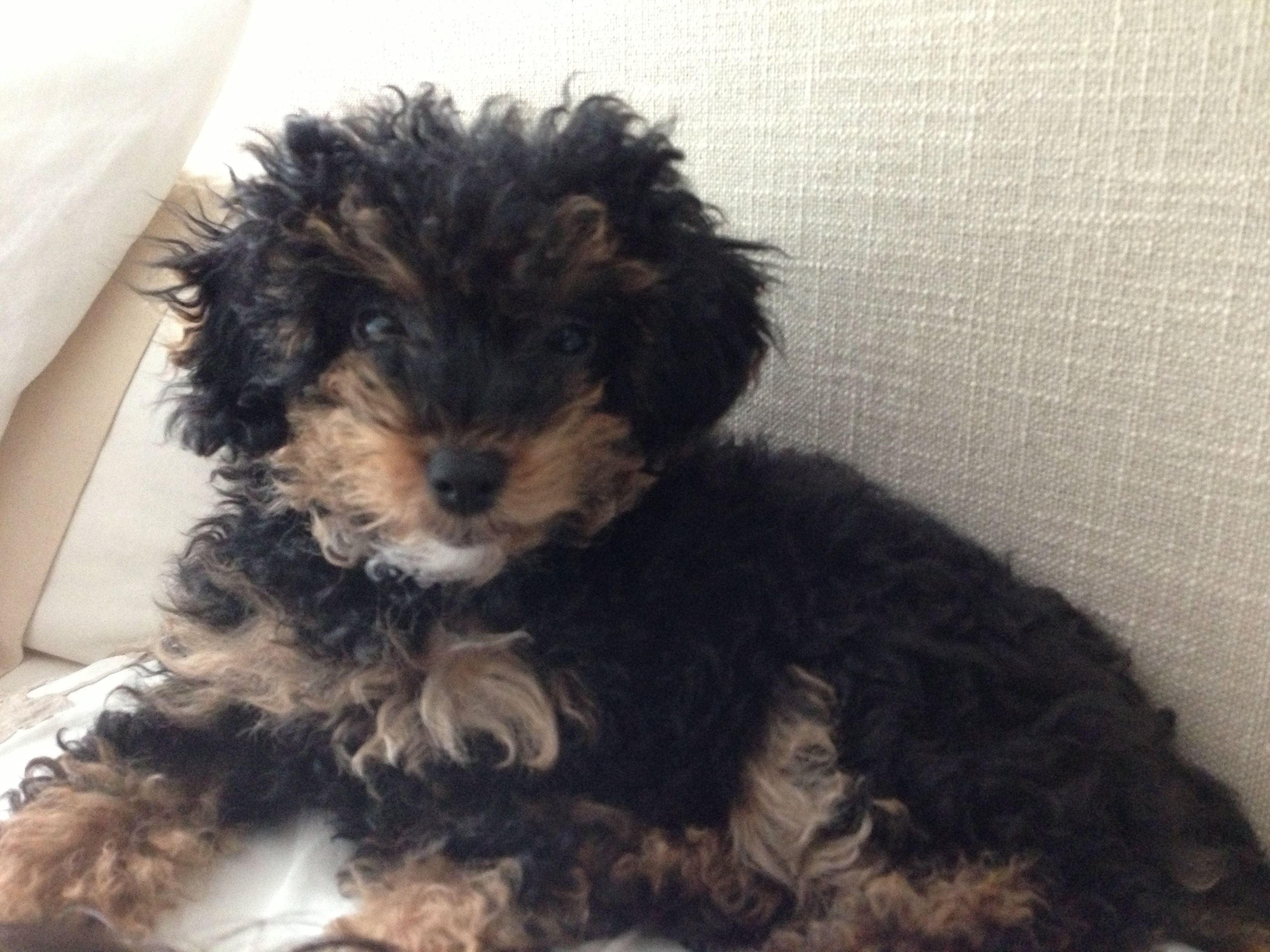 My Little Phantom Teddy Bear Toy Poodle Pup Expatpets With