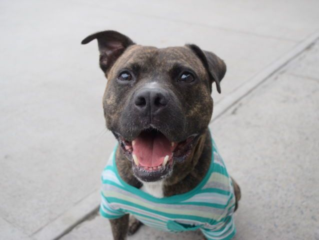 HANSON - A1083356 - - Brooklyn  Please Share:TO BE DESTROYED 09/08/16**AVERAGE RATED!**A volunteer writes: The first thing you think of when you hear the name Hanson might be MMMBop, but that's all about to change: it's time to associate it with the coolest, most charismatic little brindle guy ever! Hanson comes to us due to no fault of his own and seems like he was well cared for. He has occasional bursts of pulling on the leash, big eyes like a little kid, and