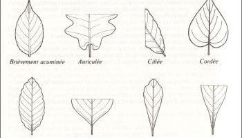 La forme des feuilles