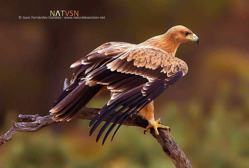 Águila real? | Pájaros | Pinterest | Pájaro