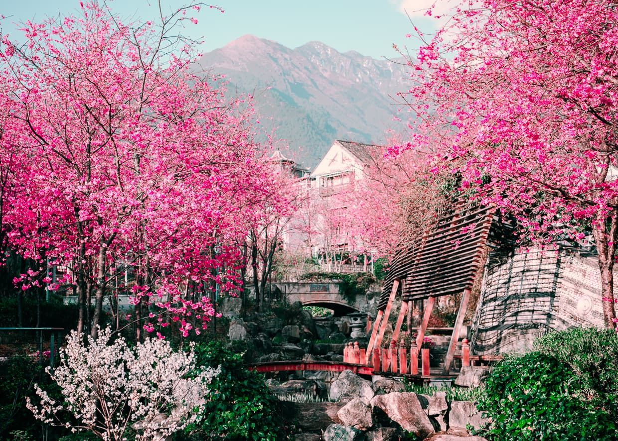 Photographing The Cherry Blossom Valley Of Dali China Jake And Dannie Cherry Blossom Blossom Trees How To Take Photos
