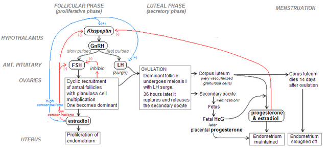 Flowchart Of The Hormonal Control Of The Menstrual Cycle Women