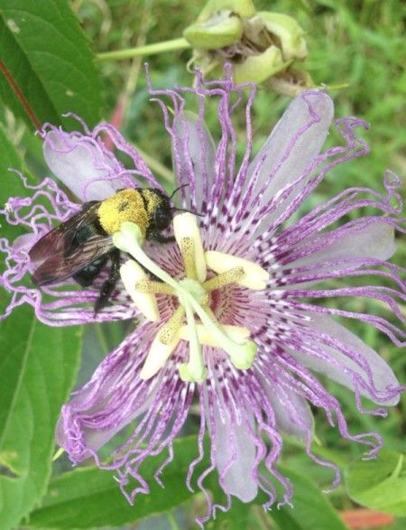 Bees Love Passion Flower Passion Flower Flowers Plants
