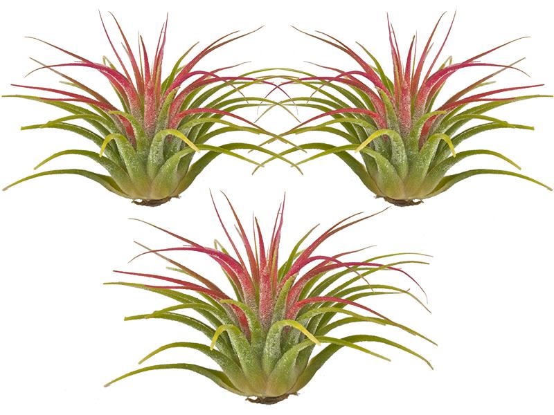 TIllandsia Ionantha Guatamala 3 Pack Plants, Air plants
