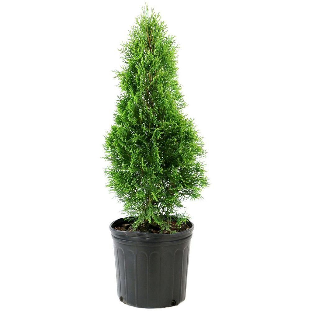 National plant network 225 gal arborvitae emerald green