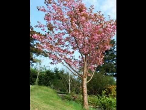 The Dance Of The Cherry Trees Cherry Tree Tree Irish Singers