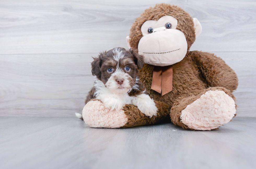 7 week old havanese puppy for sale premier pups havanese