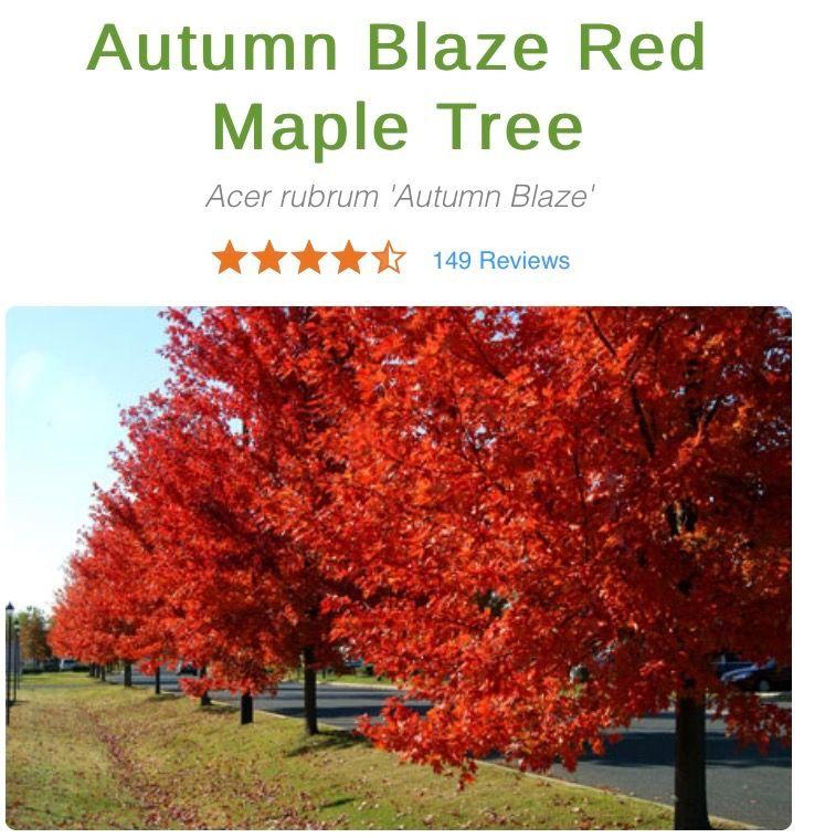 Autumn Blaze Red Maple Tree On Fast Growing Trees Nursery