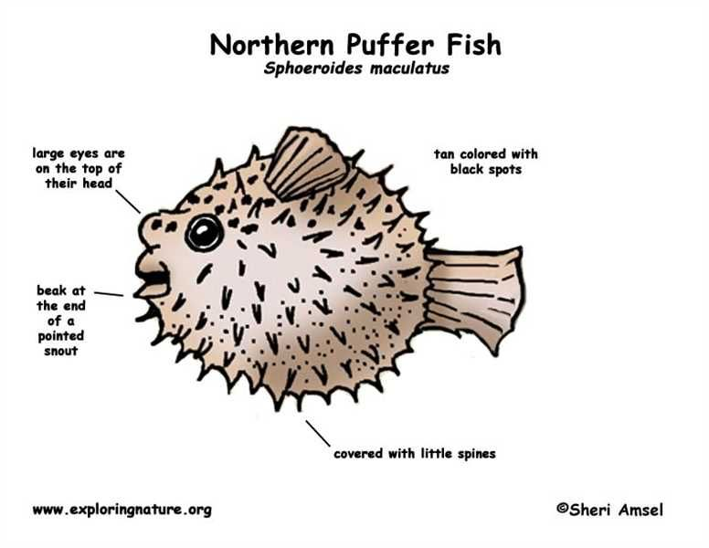 Inside Of A Puffer Fish Diagram - WIRING CENTER •