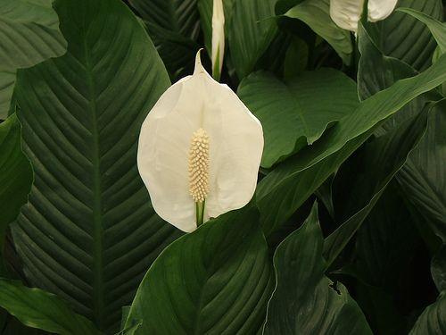 Lírio-da-Paz - Spathyphyllum wallisii: luz indireta / rega frequente