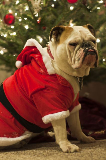Santa Roxi Cute Bulldogs Christmas Animals Christmas Dog