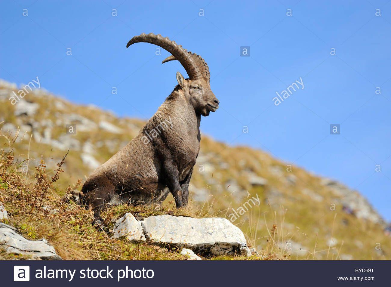 ibex - Google Search   Alpine ibex, Ibex, Fall colors