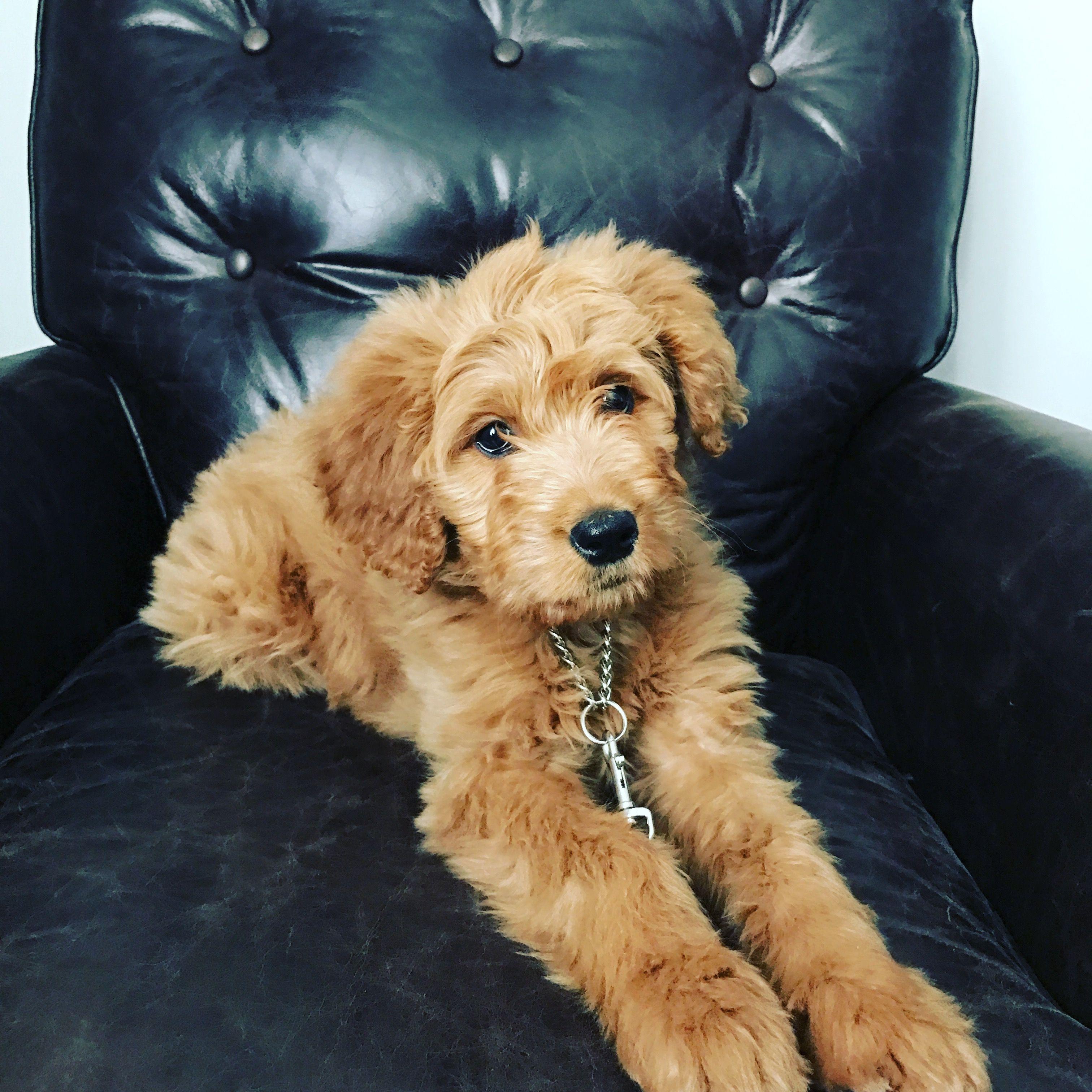 Goldendoodle Fb1 standard size puppy Goldendoodles
