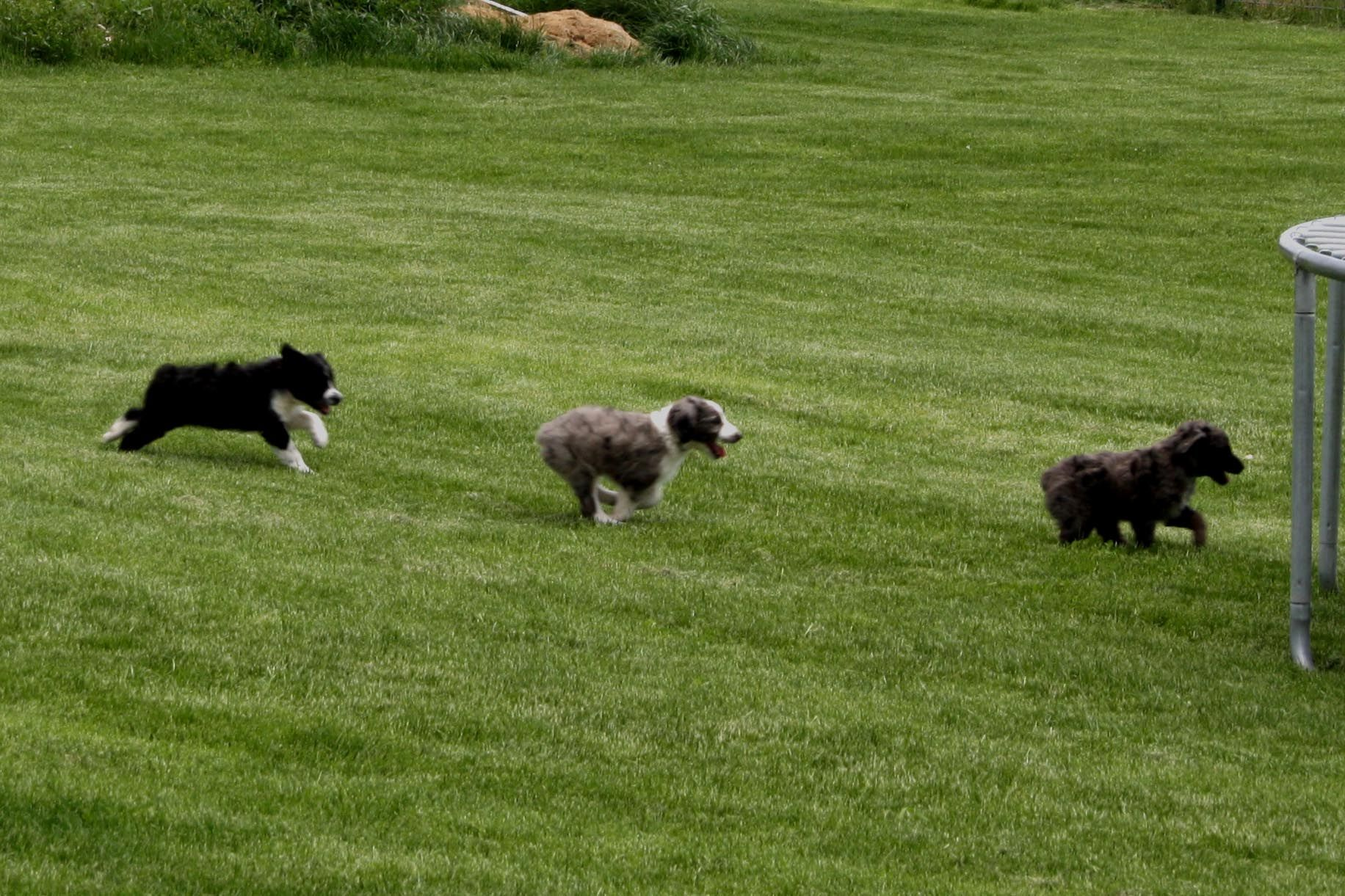 borderdoodle puppies for sale