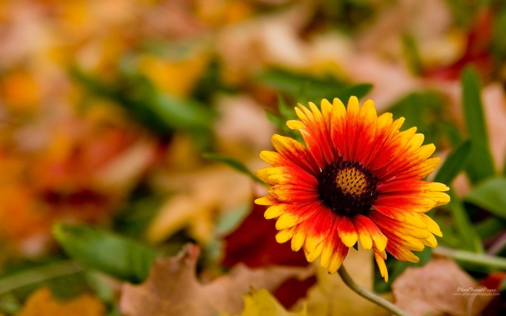 autumn flowers wallpaper hd | autumn | pinterest | autumn flowers