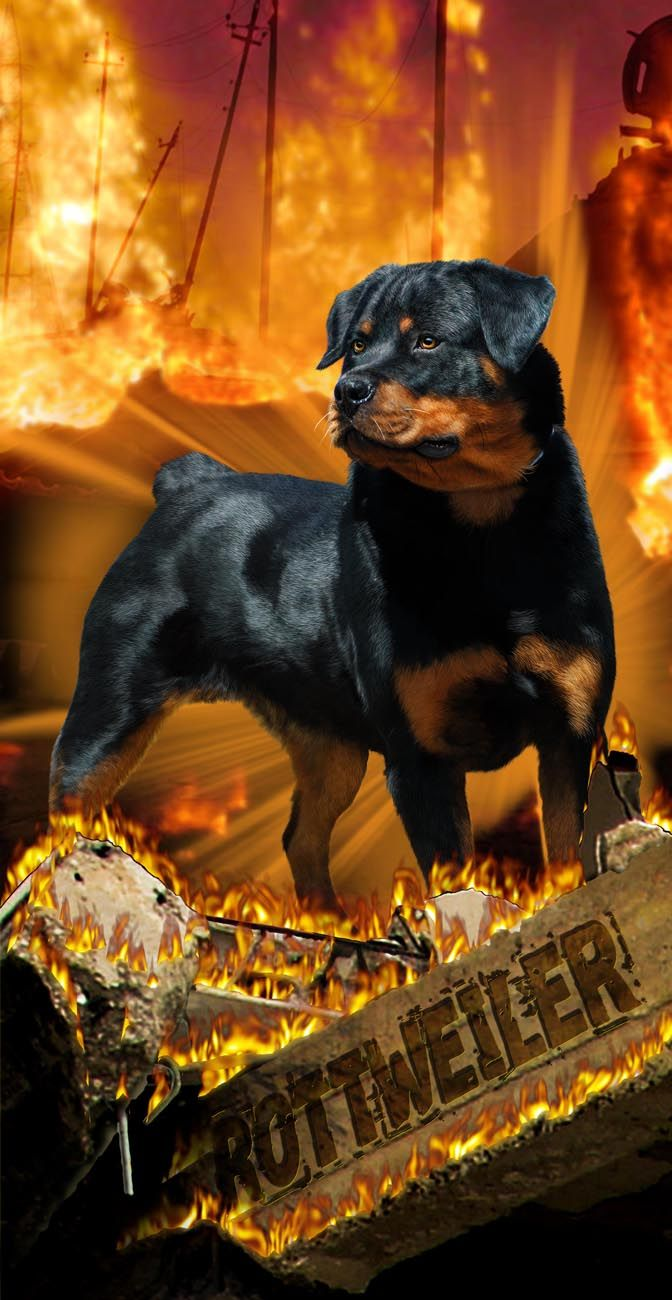 Mean Rottweiler Towel Dog Wild Rottweiler Puppies Dogs