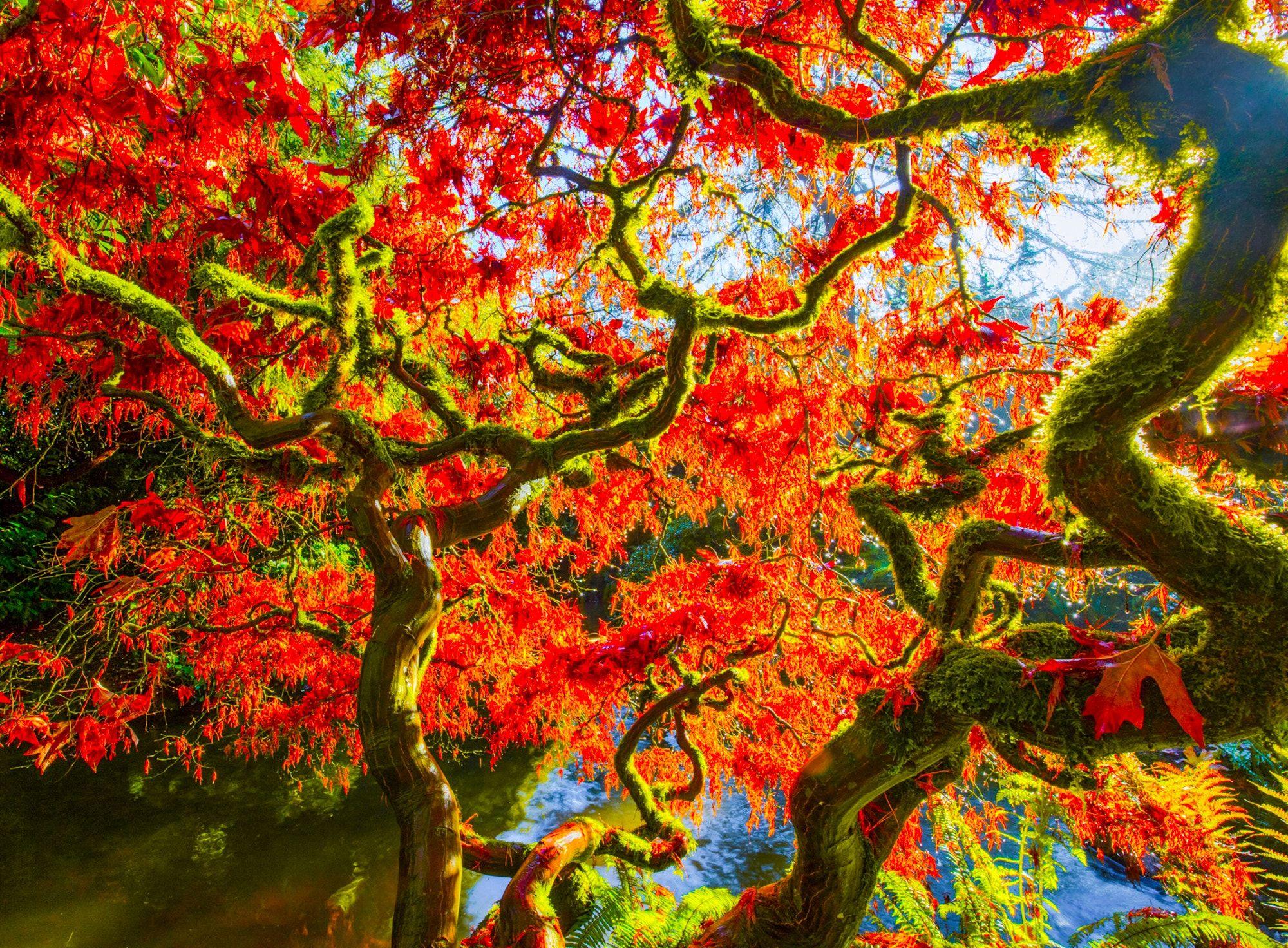 Japanese maple at sunrise at Kubota Gardens Japanese