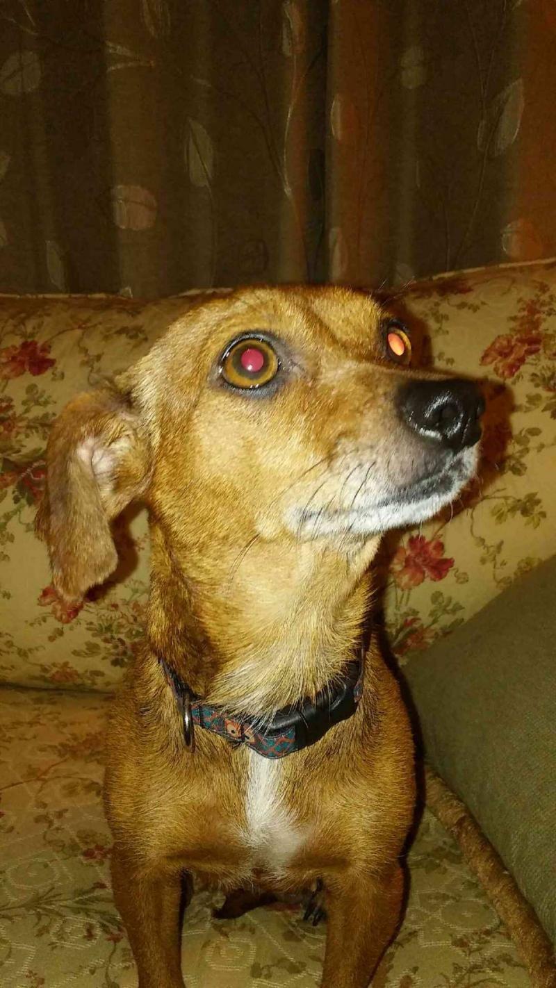 Adopt Jessa Dayton Oh On Chihuahua Rescue Chihuahua Dogs