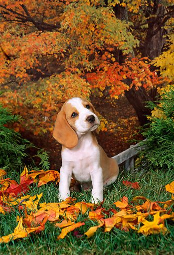 Pup 09 Fa0014 01 C Kimball Stock Beagle Puppy Sitting By Autumn