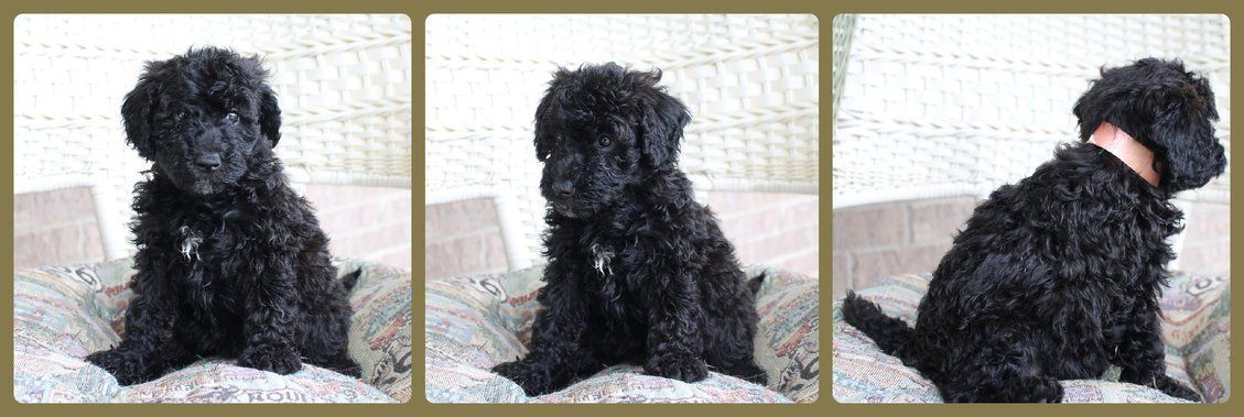 Whoodle Puppies Available 950 Joplin Mo Whoodle Puppy F1b Mini