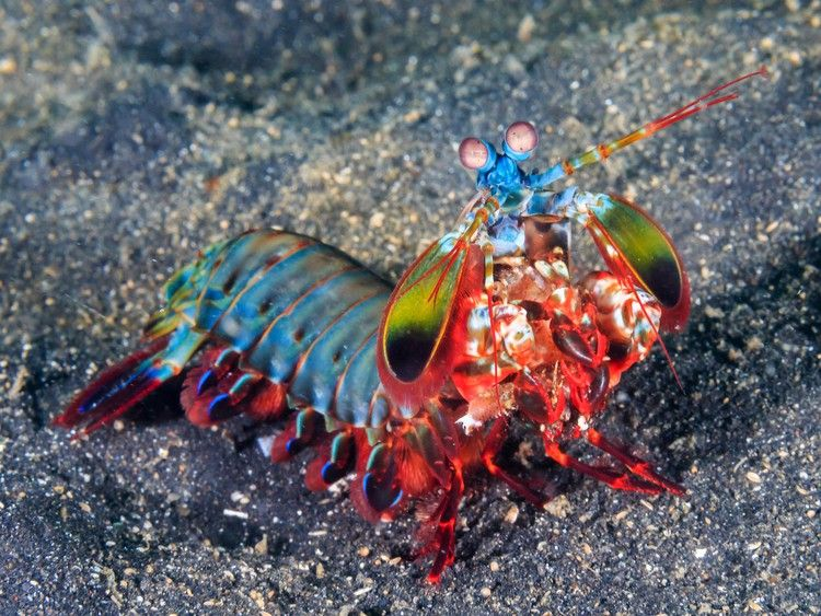 Funky Materials Give The Mantis Shrimp Its Powerful Punch Wired Mantis Shrimp Animal Facts Marine Life