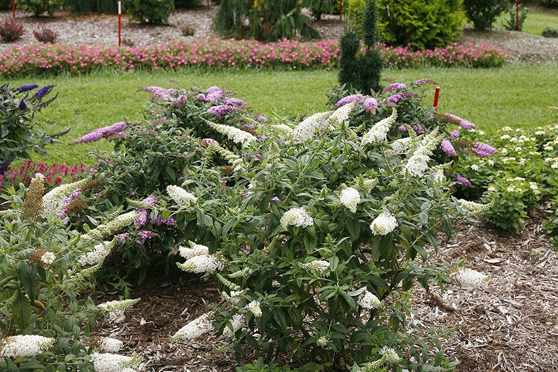 AmazonSmile : Pugster White Butterfly Bush (Buddleia) Live Shrub ...