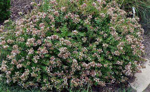 Arbustos Con Flor La Abelia Arbustos Arbustos Perennes Arbustos En Flor