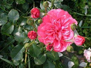 Chamblee Rose Nursery Seminole Wind Aka Rosarium Uetersen Alpine Garden