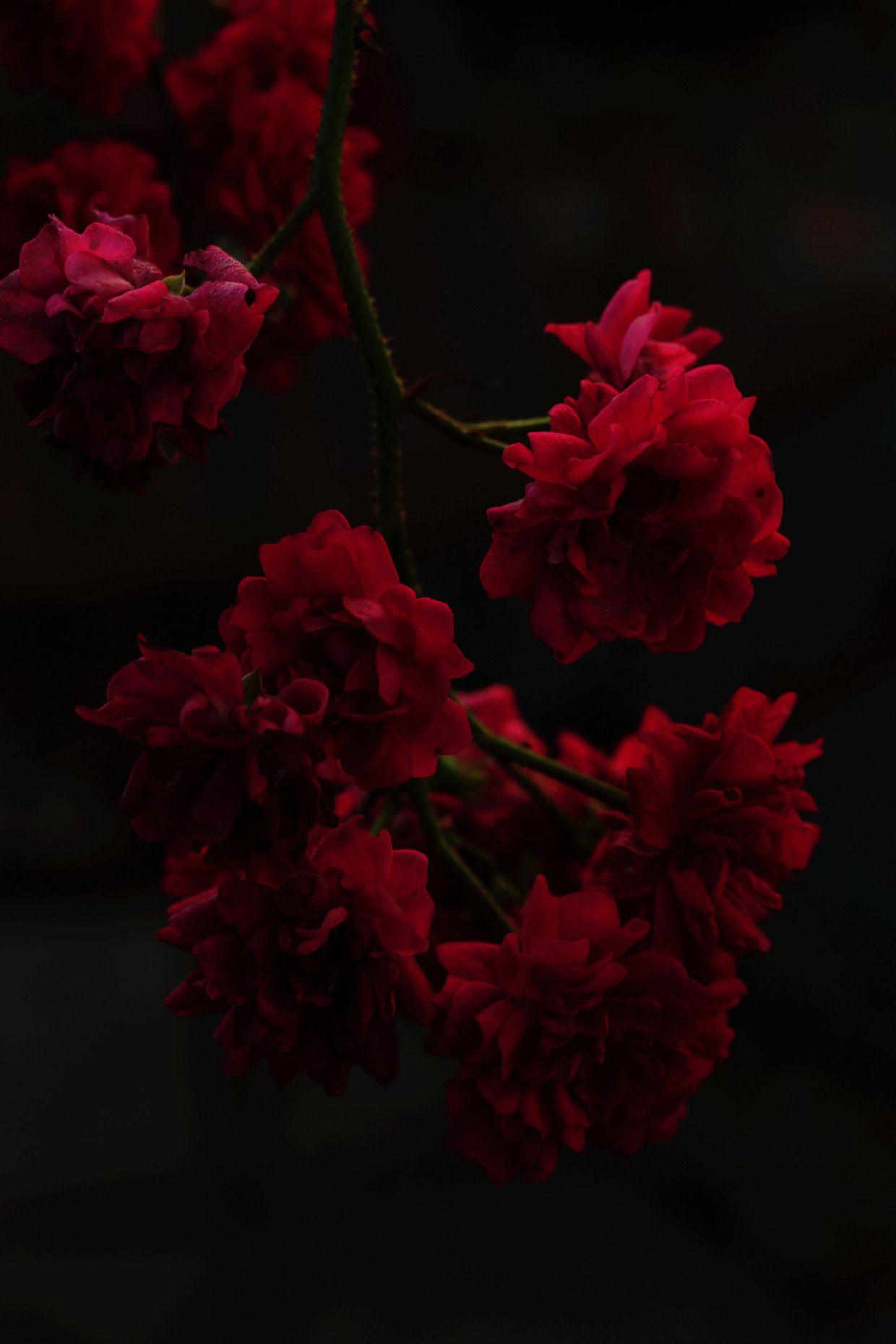 Download 600 Wallpaper Black Red Flowers  Gratis