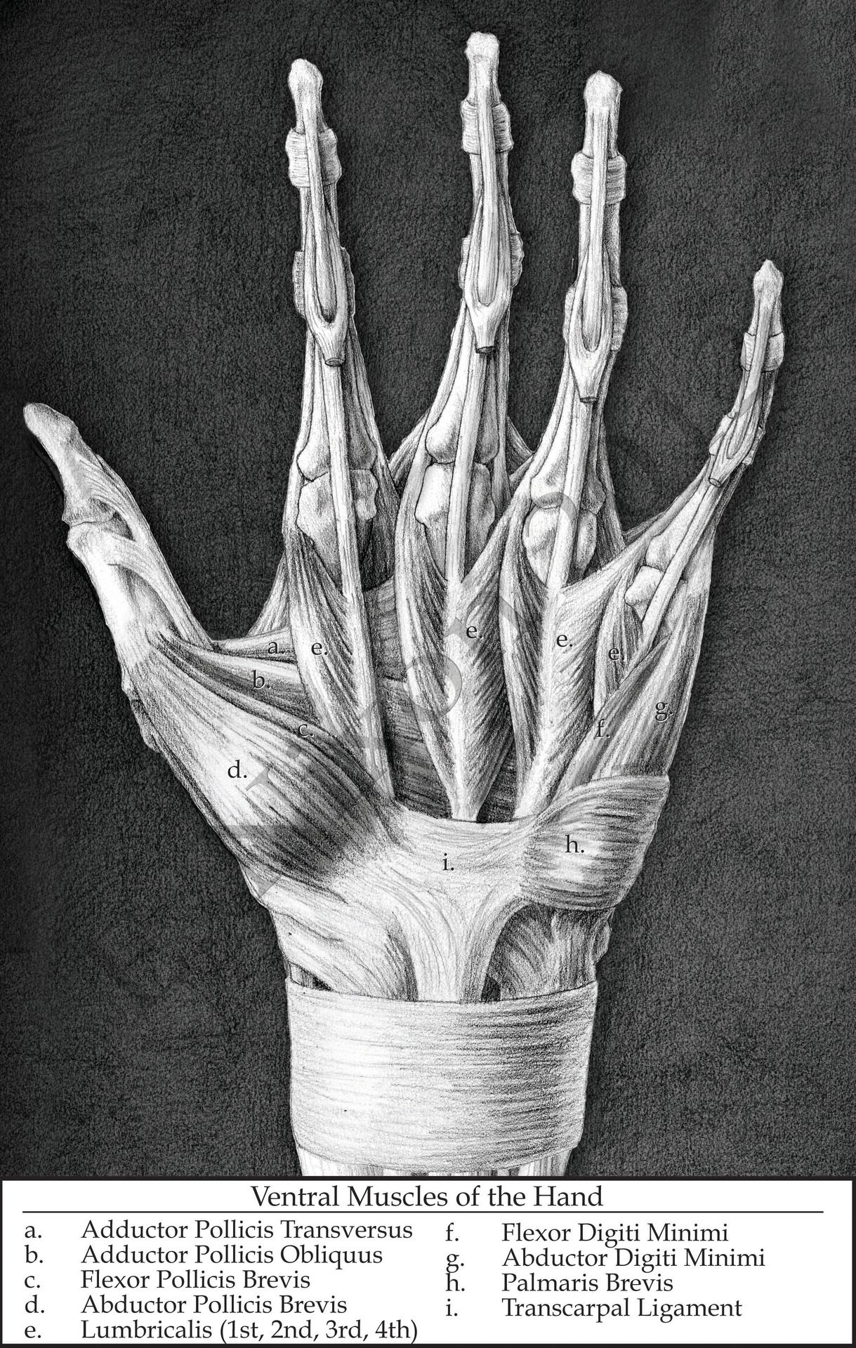 Muscles Of The Palm Ligaments Removed Anatomy Pinterest Palm
