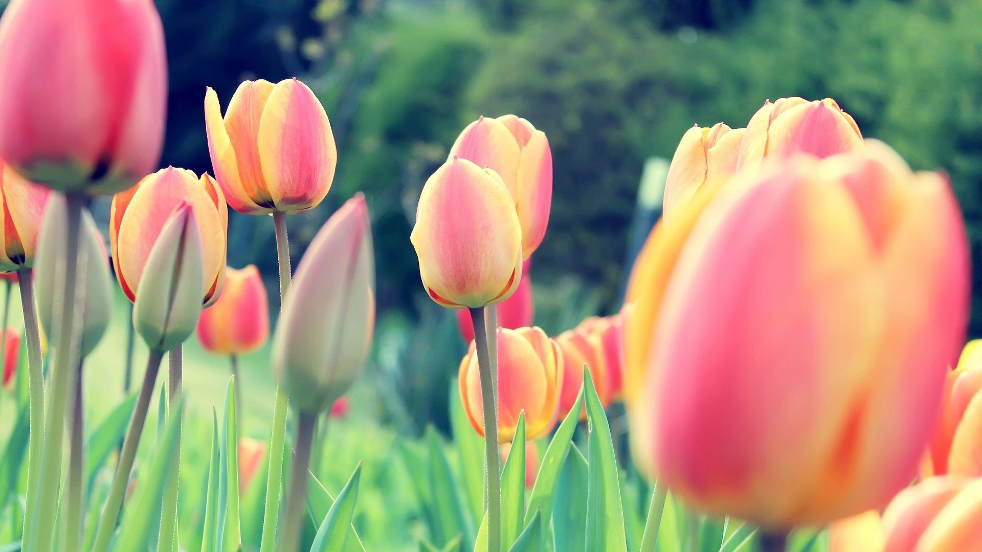 Tulips Field Hd Wallpaper Free Desktop Wallpaper Flowers Tulips