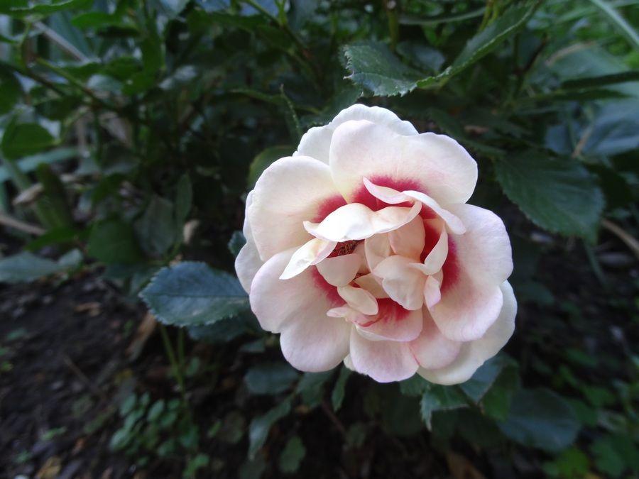 Eyeconic Lychee Lemonade-Walla Walla Garden