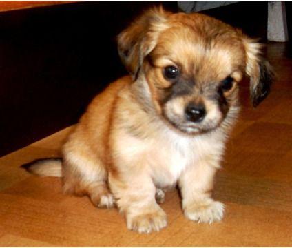 A Chiweenie Aka Mexican Hotdog Miniature Dachshund X Chihuahua