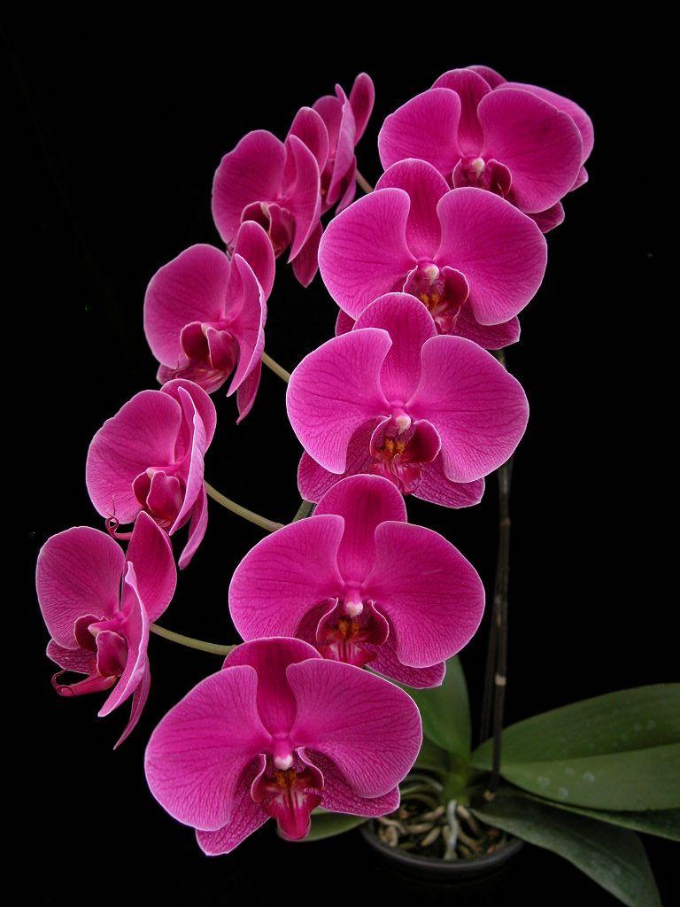 imagens de orquideas - Pesquisa Google