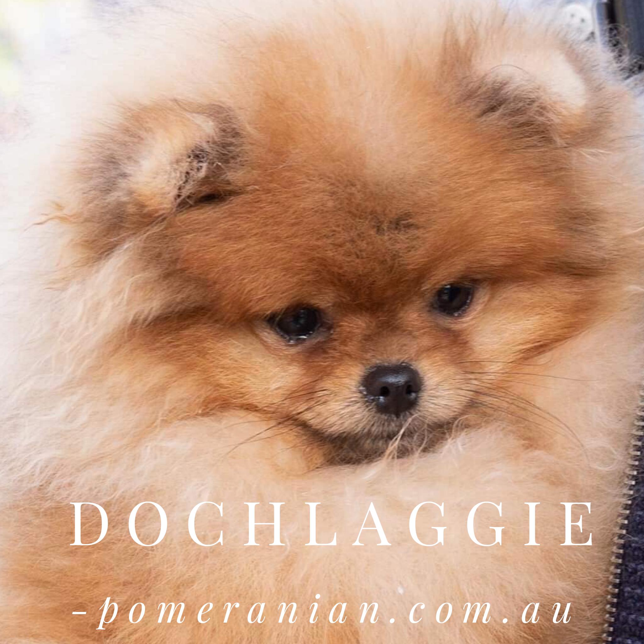 Dochlaggie Pomeranians Melbourne Australia In 2020 Pomeranian Puppy Pomeranian Pomeranian Dog