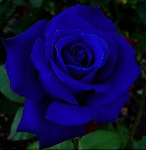 rose royal blue flowers pinterest royal blue royals and rose