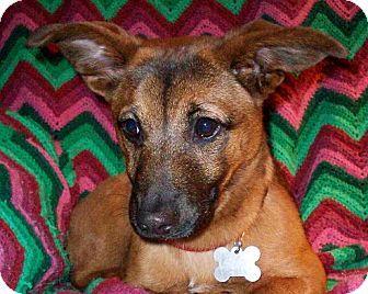 Memphis, TN - Corgi/Dachshund Mix. Meet Harper Lee a Puppy for Adoption.