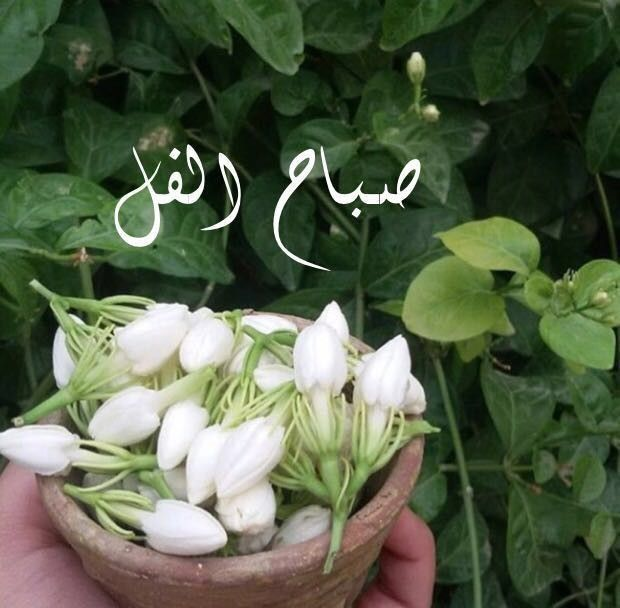 Good Morning صباح الفل Good Morning Arabic Good Morning Greetings Good Morning Images