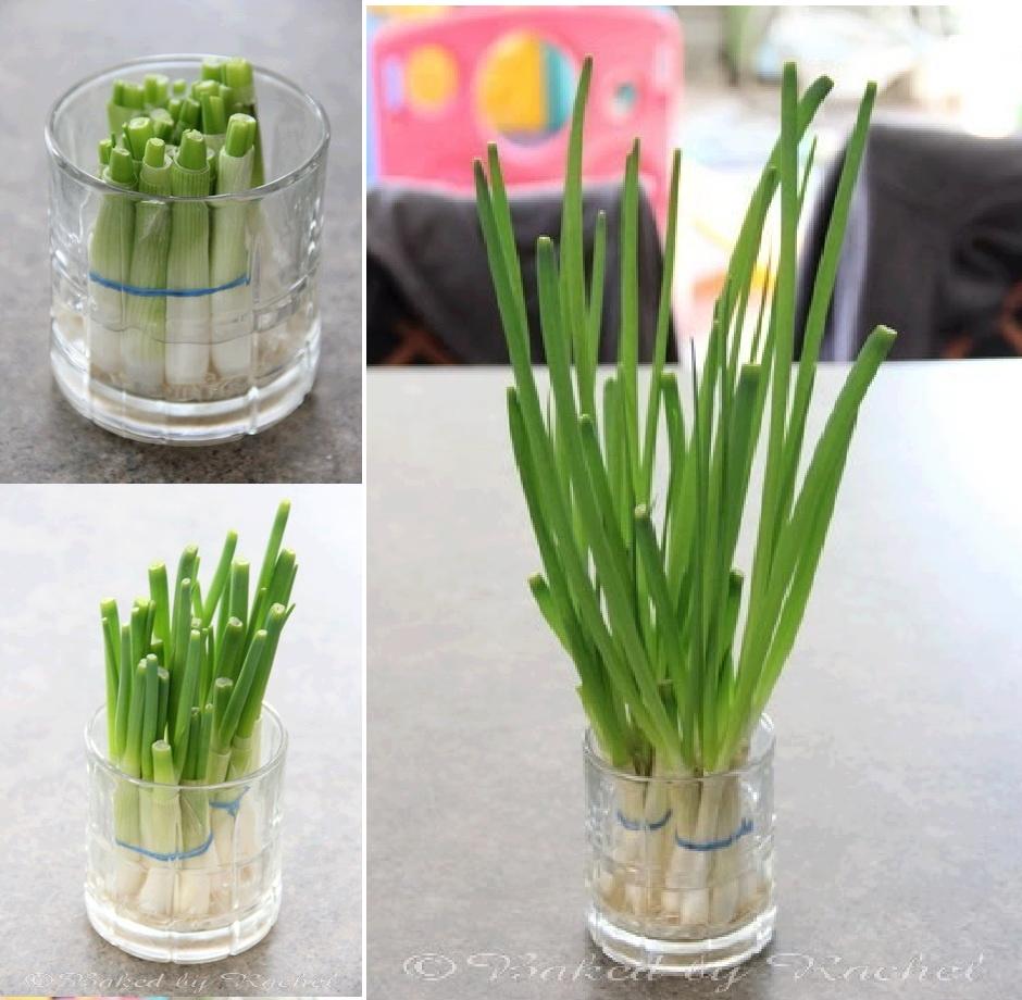 Růst zelené jarní cibulky ve sklenici