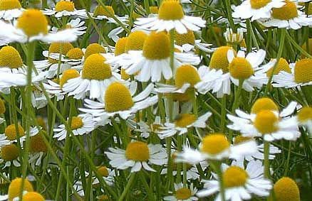Chamomile Is A Tonic For Anything In The Garden Adding 640 x 480
