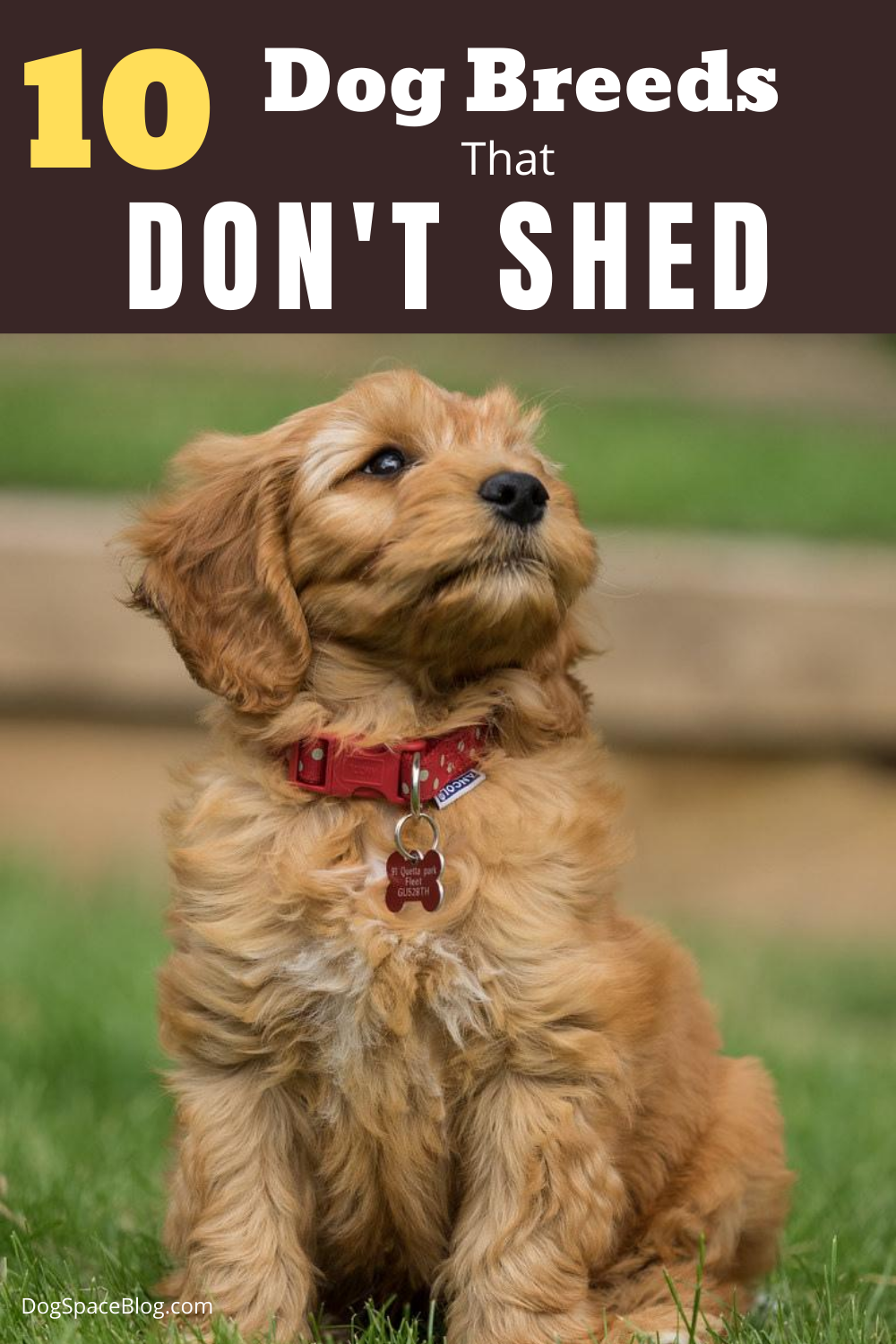 Top 10 Dog Breeds That Don T Shed Dogspaceblog In 2020 Dog Breeds Cute Dogs Breeds Dog Breeds That Dont Shed