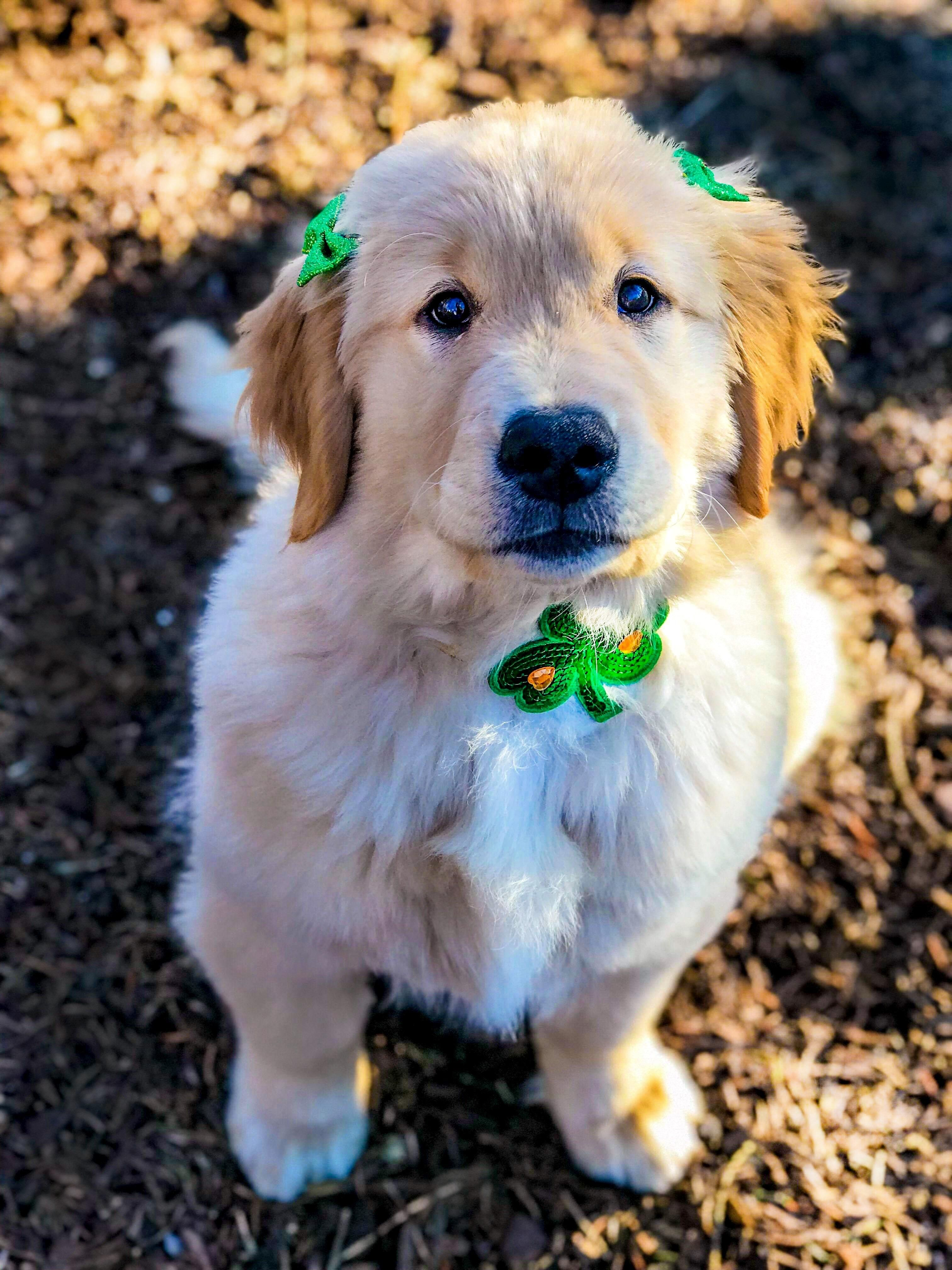Happy St Pattys Day Everypawdy Puppies Golden Retriever